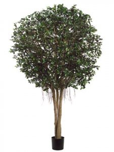 EF-909  9' Ficus Retusa Giant Tree natural Wood Trunks in Pot Two Tone Green