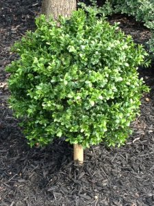 "EF-1118 24"" Tall 15"" Wide Outdoor Boxwood Ball Topiary"