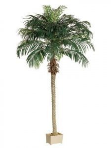 EF-508 8.5' Date Palm Tree in Rectangular Plastic Pot  (Price is for 2 whole Palm Tree's)