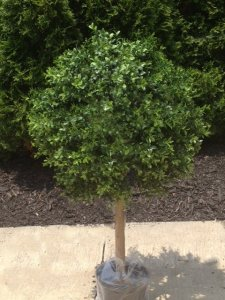 "EF-786  24"" Tall  20"" Wide Outdoor Boxwood Ball Topiary"