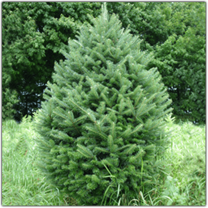 EF-67  5' to 8' Tall Fresh Cut Natural Balsom Fir Christmas trees dark Green Color