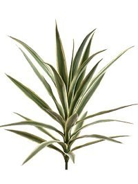 Yucca Plant with 24 Leaves Variegated