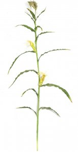 7.5' Corn Stalk - 13 Green Leaves - 2 Yellow Corn - Bare Stem