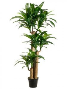 5' Tropical Dracaena Tree with 7 Heads in Pot Two Tone Green